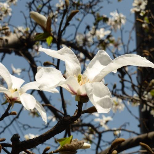 木蓮も 深呼吸して 春のどか