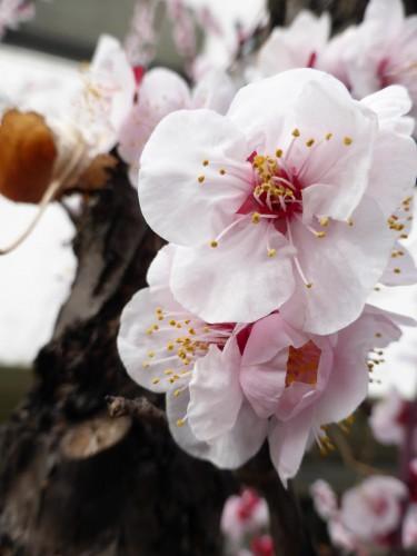 野に歩き 鳥の聲聴く 梅の花
