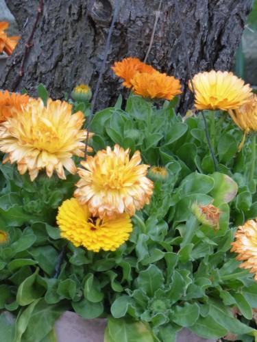 松の根を 我が家と想ふ 金盞花