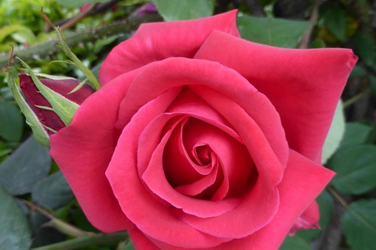 遠き日の くちづけ哀し 紅き薔薇