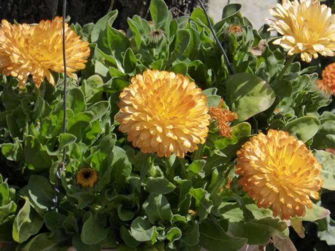 黄金を 野に咲かせたる 金盞花