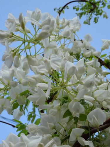 空吸うて 白を奏でる 藤の花