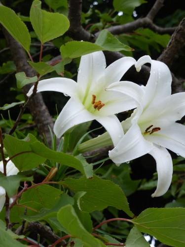分入って 霊気のなかに 百合の花