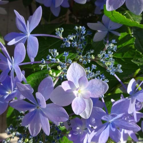 神降りて 紫陽花と化す 夕まぐれ