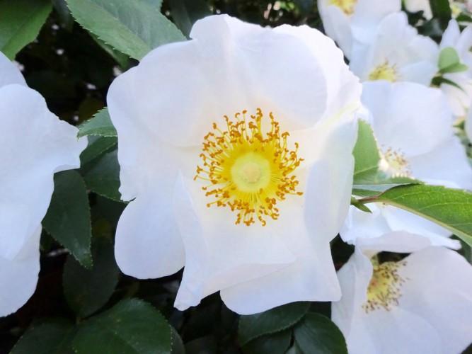 金の糸 シフォンに包む 夏の薔薇