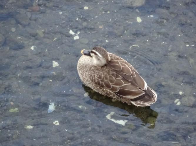 考へる 小川の鴨の 夢何ぞ